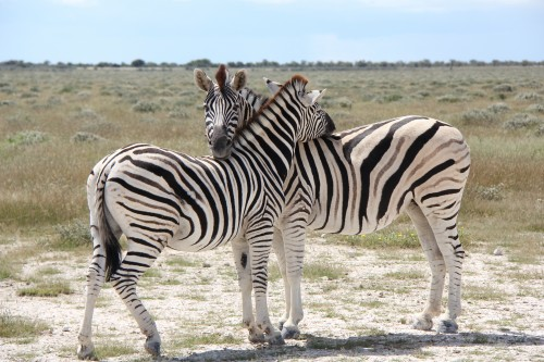 Hugging Zebras, Namibia, March 2011.jpg